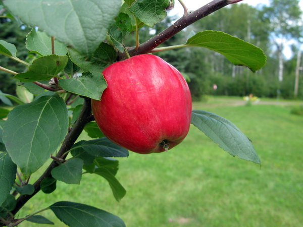 Our first apple! (a Norland)