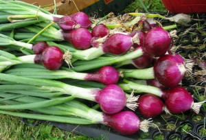 Red Onions ready to go