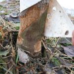 mouse damage to apple tree bark
